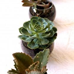 Globesucculents2