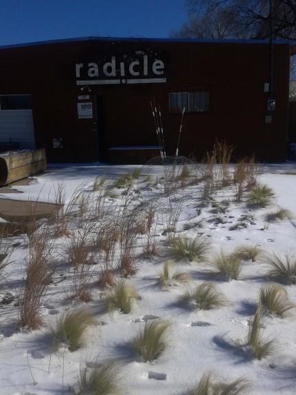 radicle_grasssnow