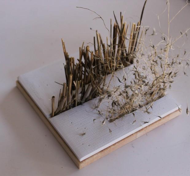 Ricegrass2