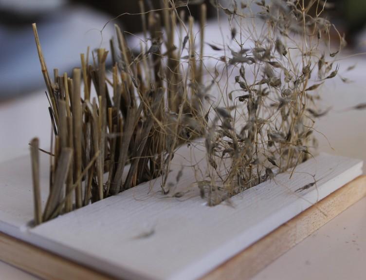 Ricegrass3